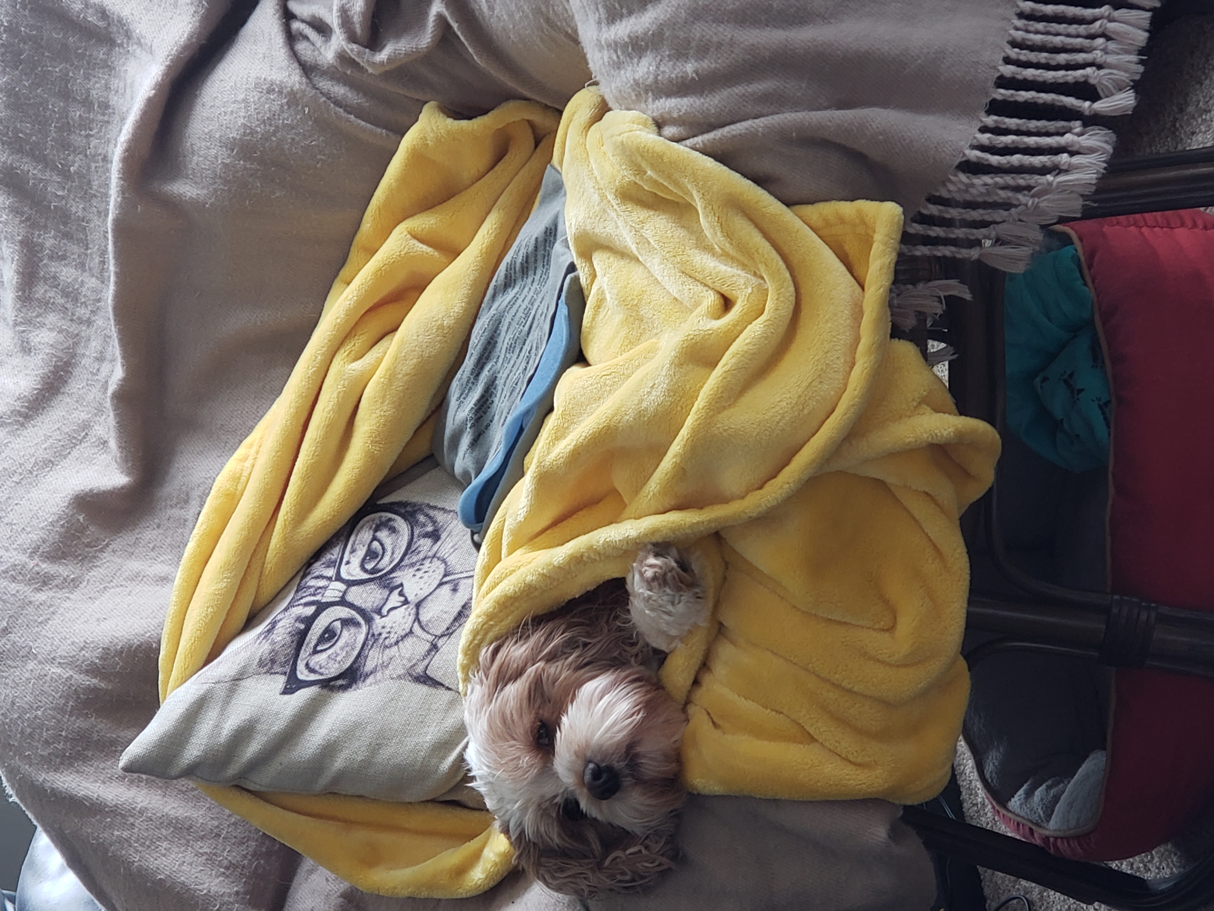 dog wrapped in comfy blankets and pillows