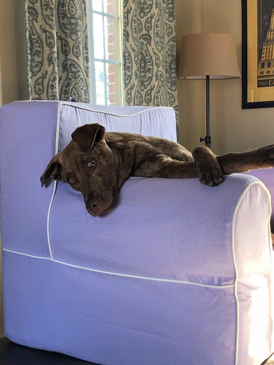 Dog laying on purple chair