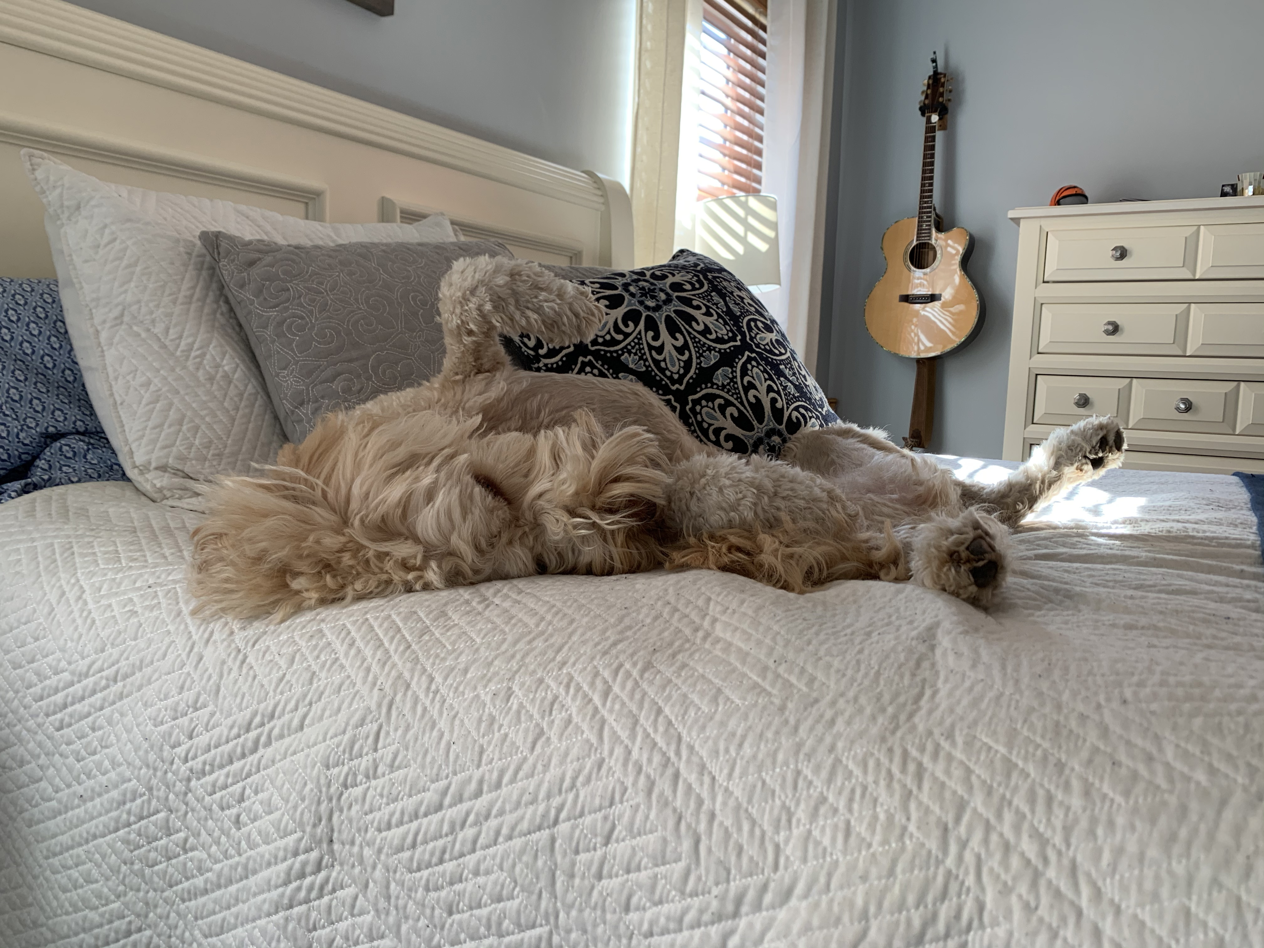 Goldendoodle snoozing